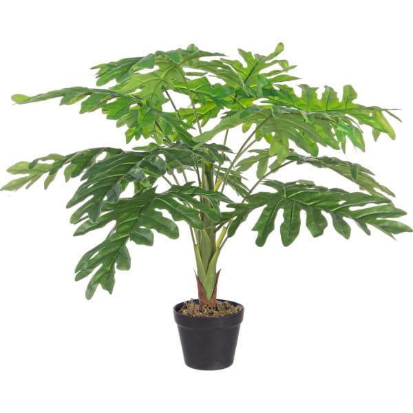 Pflanze Rändelphilodendron 12x90