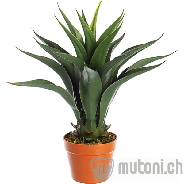 Pflanze Agave Höhe 60