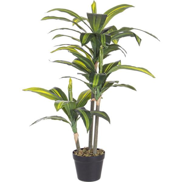 Pflanze Dracanea 43x88